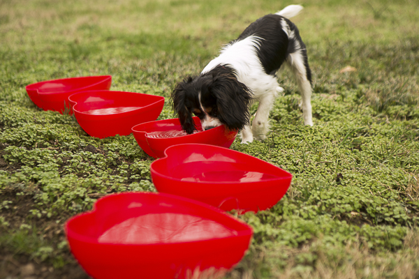 dog drinking out of red heart shaped water bowls