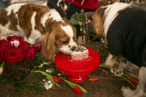Cavaliers eating heart shaped bakery cake for dogs