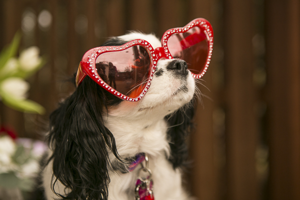 Cavalier wearing red heart glasses, dog pawty Be My Caventine