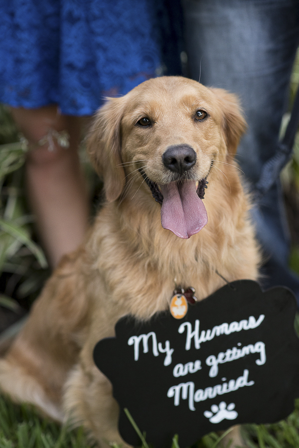 handsome Golden Retriever holding black Save the Date Sign
