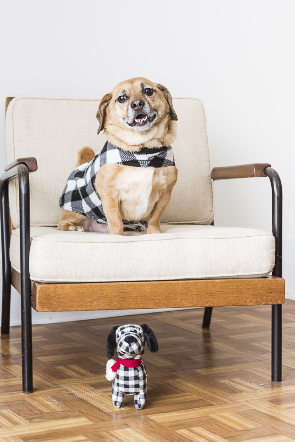 Puggle in black, white buffalo plaid coat twinning with dog toy