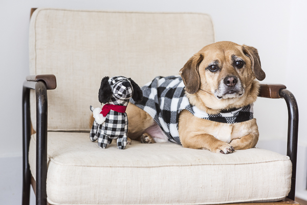 twinning, Puggle and dog toy twins, lifestyle dog photographer