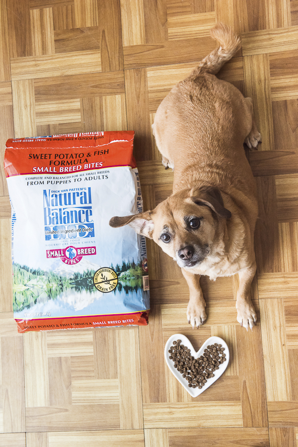 brown Puggle waiting for dinner lying next to bag of dog food, pet nutrition