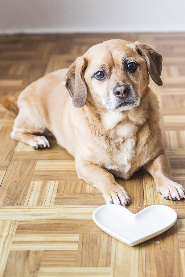 Puggle waiting for dinner, heart shaped plate