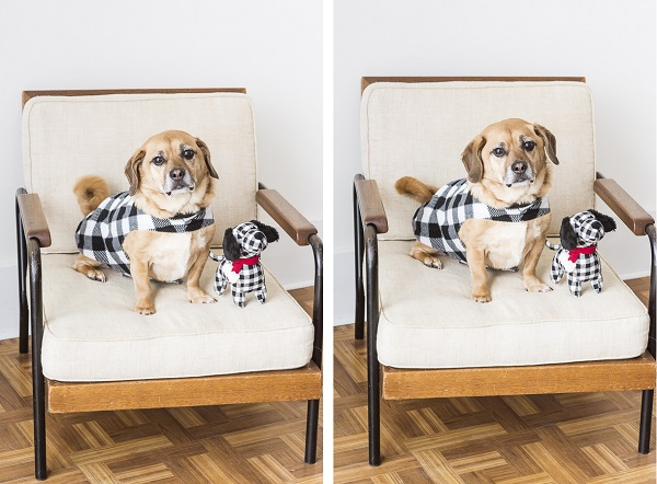 Puggle in mid century chair, Puggle buffalo plaid jacket and dog toy, dogs on furniture