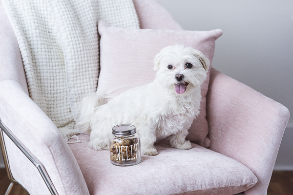 Maltese on pink chair with jar of dog treats