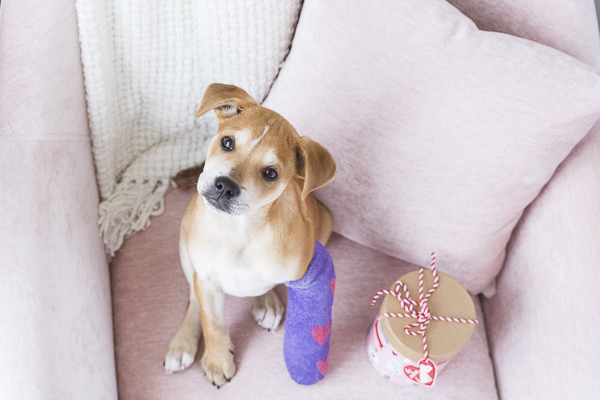 small puppy with broken leg sitting on pink chair, purple cast with pink hearts, valentine box