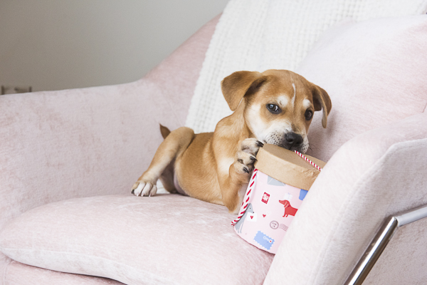 little puppy on pink chair chewing Valentine container