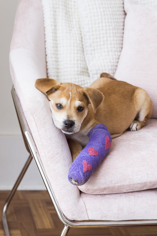 Adorable brown puppy, purple cast with pink hearts, lying on pink chair