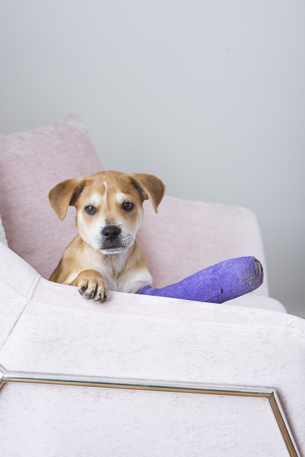brown puppy, pink chair, purple cast, dogs on furniture