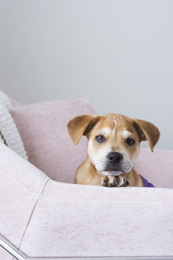 rescue puppy in pink chair