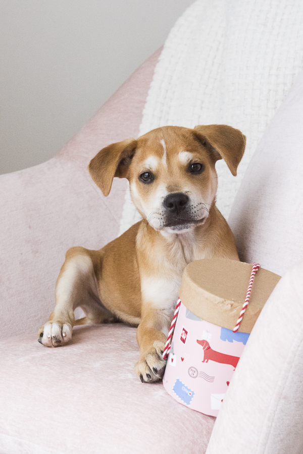 12 week old puppy with Valentine box