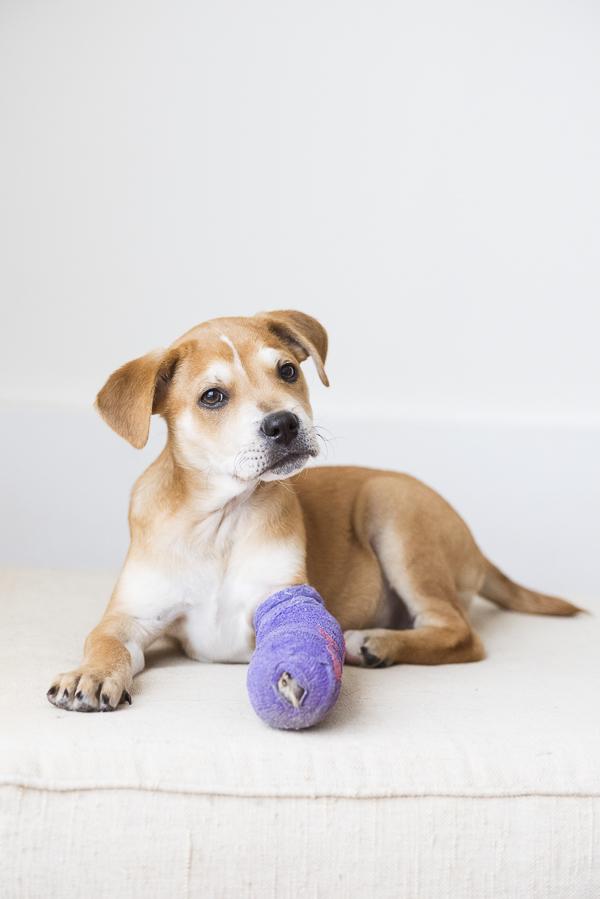 brown puppy in purple leg cast lying on cushion