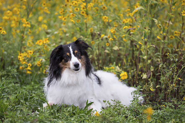 Sheltie mix head tilt lying down in front of yellow flowers