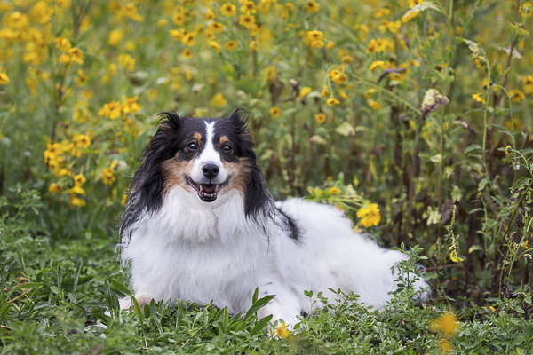 smiling Sheltie mix with yellow flowers in background, on location dog portraits