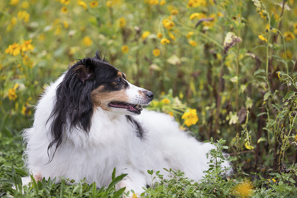 white, black long haired dog lying on grass, yellow daisies, good bye session for dog