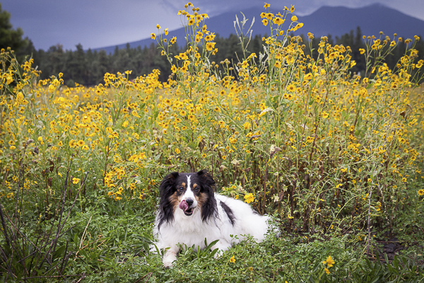 Sheltie lying on grass, yellow wildflowers and mountains backdrop