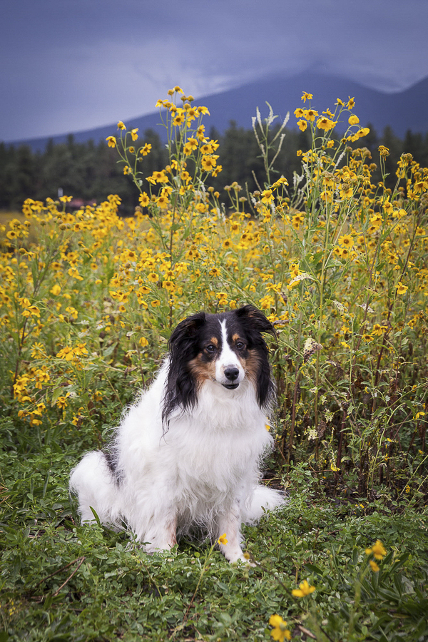 Sheltie mix, yellow flowers, mountains in background
