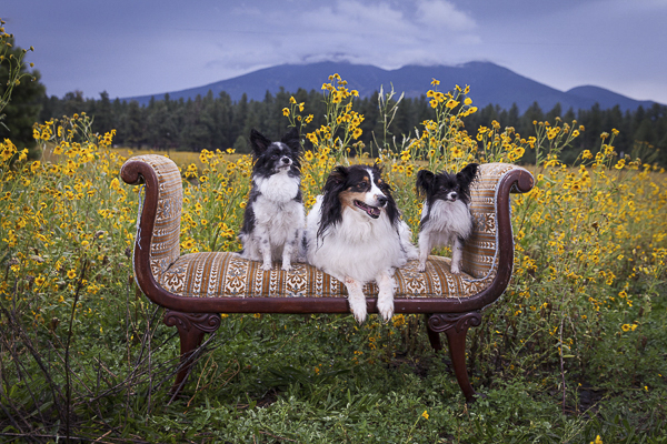 3 small black and white dogs on settee in field