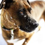 handsome brindly Boxer Lab mix in snow