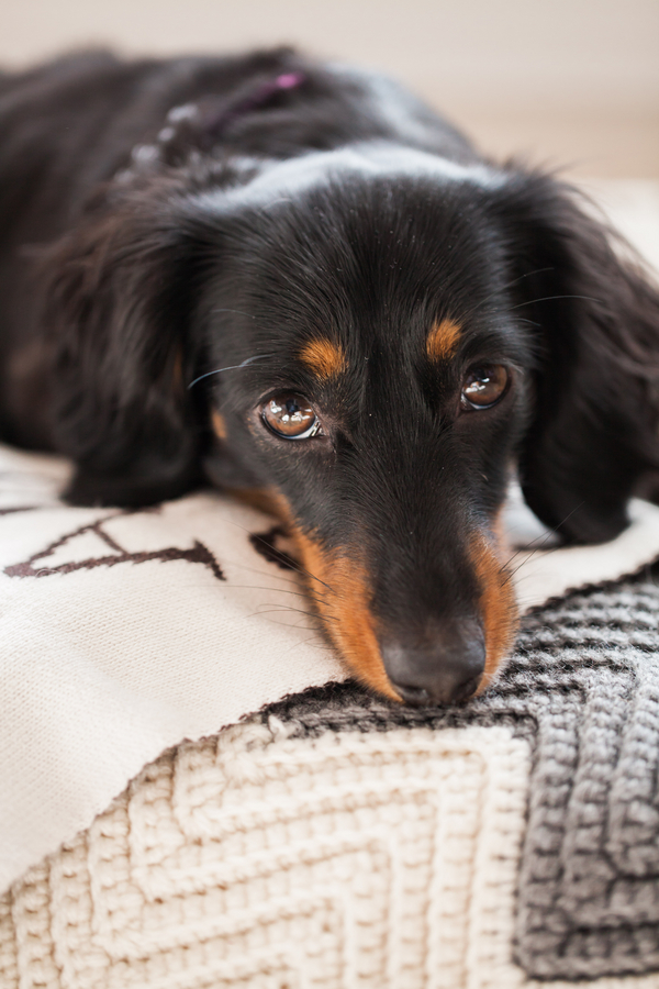 black tan mini doxie, lifestyle dog photography