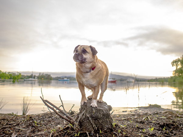 Pug-Jack Russell mix standing on small tree stump,