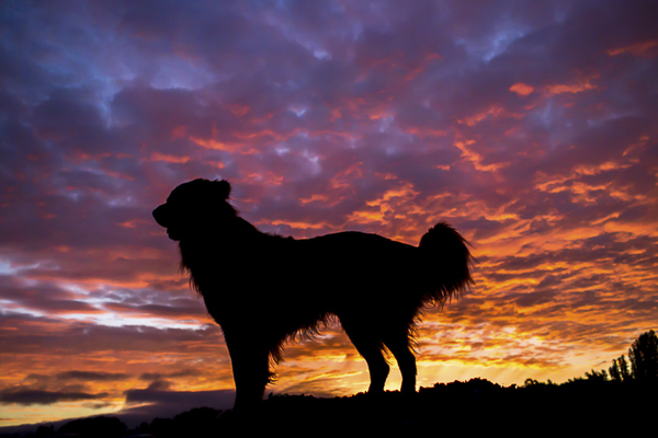 handsome Toller silhouette, sunrise photo shoot with dogs