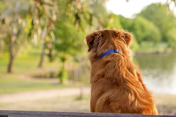 Toller Retriever sitting on park bench, on location dog portraits