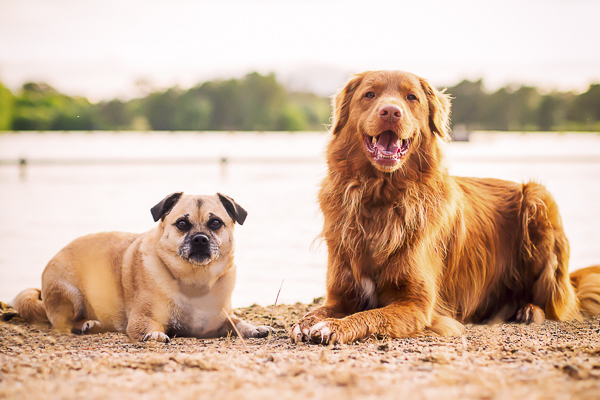 Pug/Jack Russell mix and Toller on beach, dog bffs, dog dynamic duo