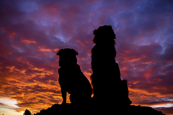 silhouette two dogs at sunrise, Pug Mix and Toller, dog bffs