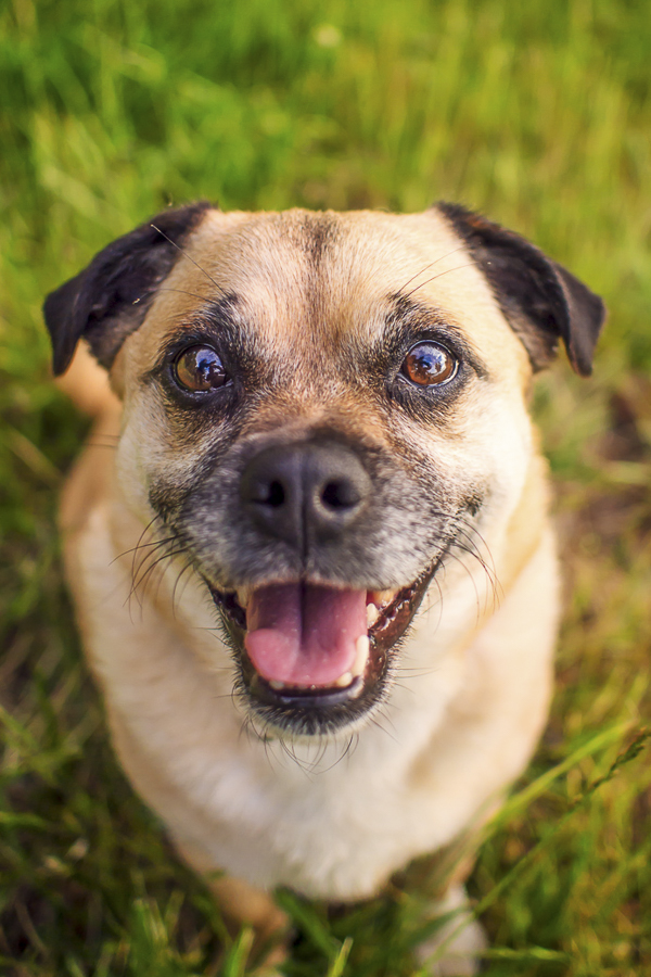 cute Pug mix, Jack Russell-Pug mix sitting on grass
