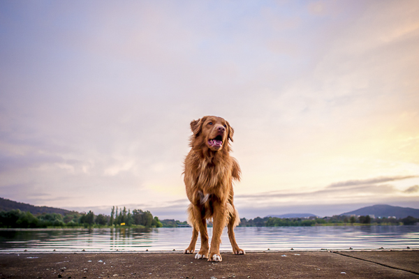 handsome Duck Tolling Retriever at beach, Toller sunrise