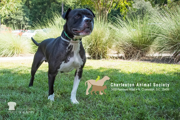 handsome American Shelter dog on grass, Adopt Geoffrey