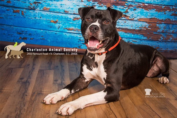 Adoptable black white Boxer/Bully mix, blue old paint background, s