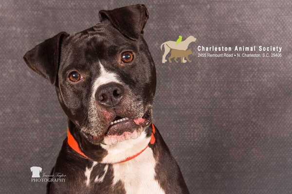 Handsome American Shelter Dog looking for home, adoptable black white Boxer/Bully mix