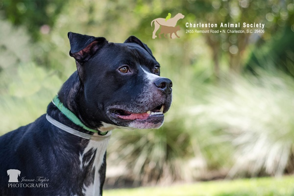 Adoptable American Shelter dog, Bully Boxer mix Charleston Animal Society
