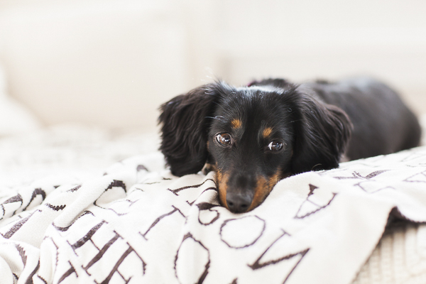 black tan mini Dachshund lying on bed, lifestyle dog photography
