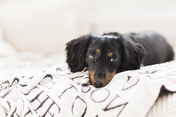 black tan mini Dachshund lying on bed, lifestyle dog photography