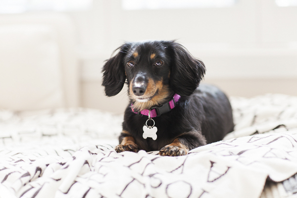 black tan mini Dachshund in pink collar lying on bed