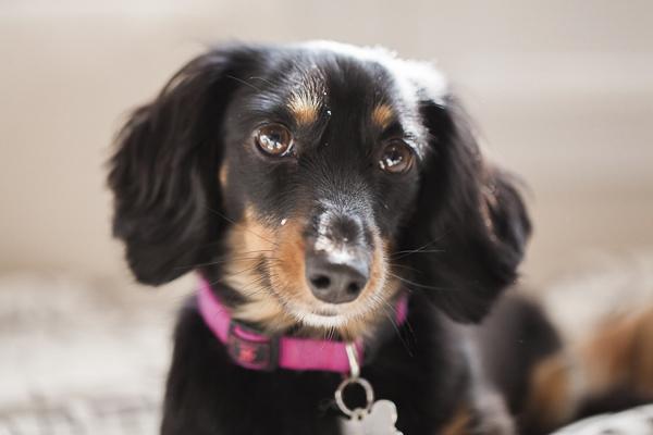 black tan mini Dachshund in pink collar, lifestyle dog photography