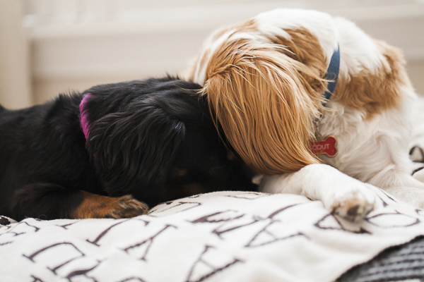mini doxie and spaniel on bed, dog bffs