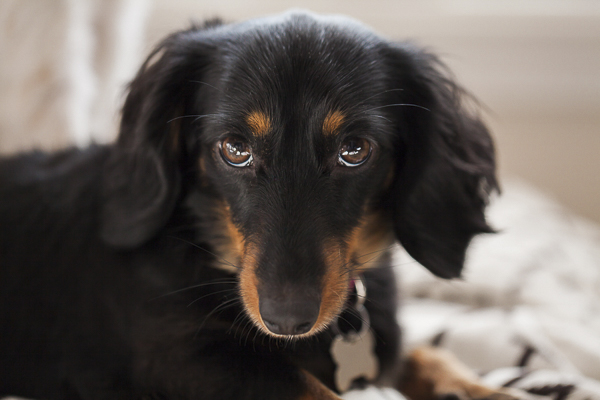 close up black tan mini Dachshund