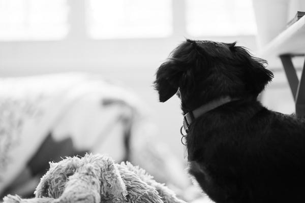black white dog photography, Dachshund and toy