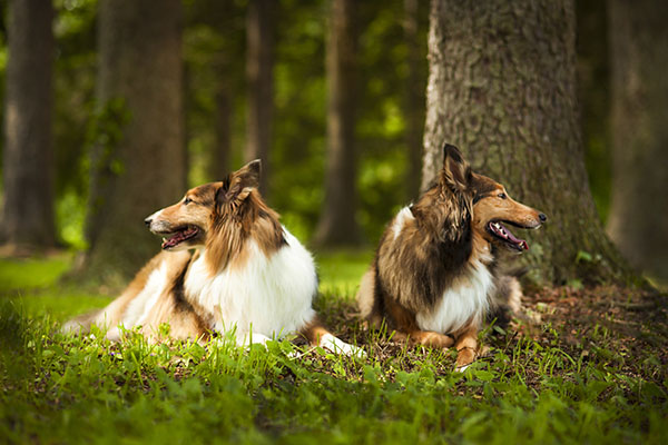 two Collie mix lying in woods, dog BFFS, Collie mix sisters