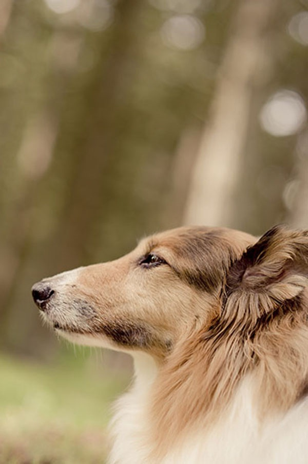 close up of Collie mix, dog portraits