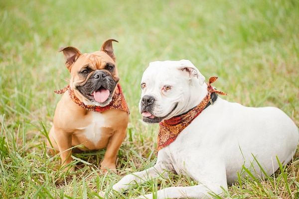 brown Frenchie and white Boxer mix wearing bandanas