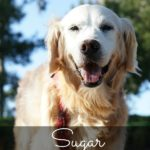 Sugar the Golden Retriever-senior dog