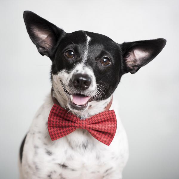 Handsome dog wearing bow tie, Henry The Broke Dog