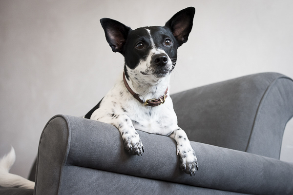 terrier mix on chair, Henry the Nugget, The Broke Dog