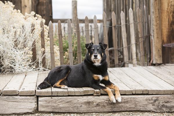 handsome dog lying on boardwalk, rustic lifestyle dog portraits
